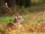 deer-in-kent-wood