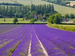lavendar-fields-in-kent